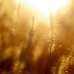 licht-graan